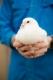 Pigeonneaux des Flandres